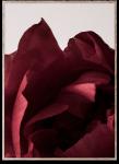 Plakat PEONIA 03 30x40